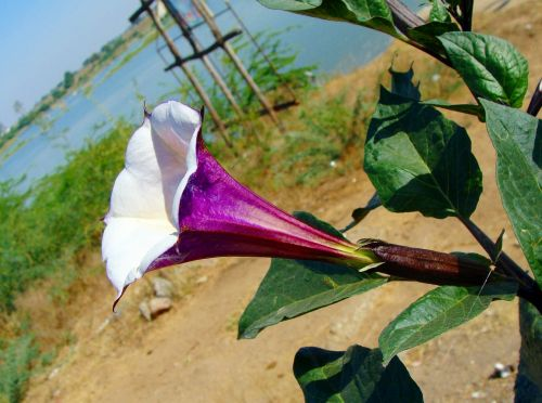 datura purple flower