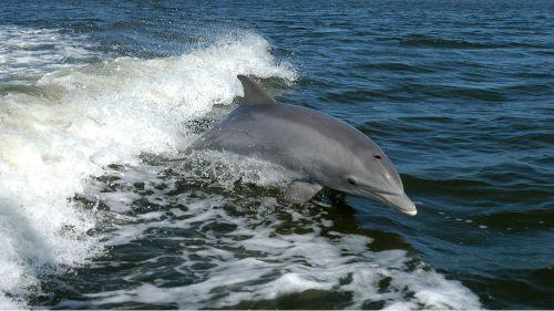 Dolphin, Tursiops Truncatus