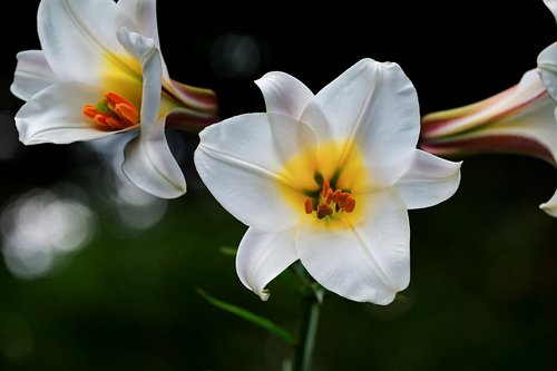 david-lily  lily  white
