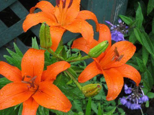 day lilies daylily
