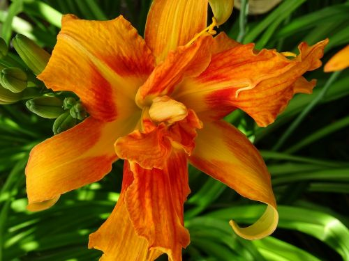 day lily blossom bloom