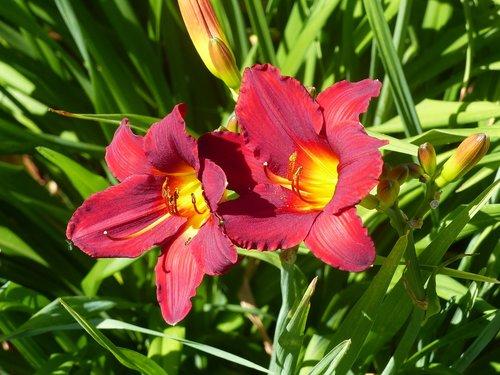 daylilies  seedlings  red