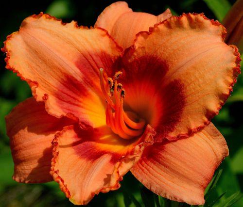 daylily day lily plants orange daylily