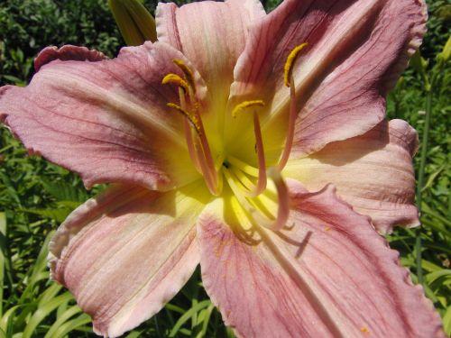 daylily nature hemerocallis daylily