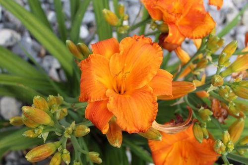 daylily orange blossom