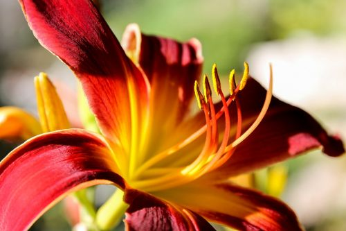 daylily lily red flower