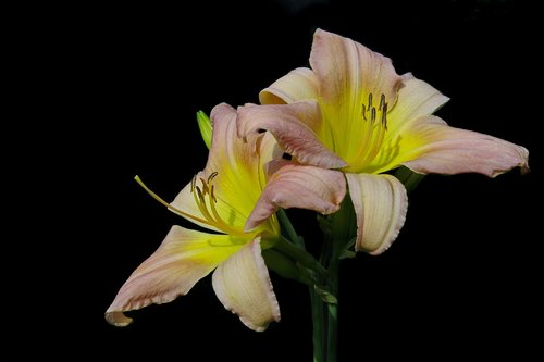 daylily  soft pink  large-flowered daylily