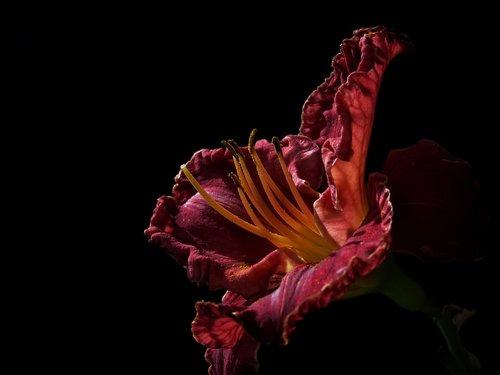 daylily  large-flowered daylily  hemerocallis