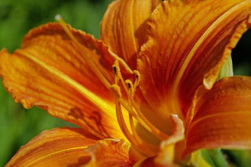 daylily lily plant
