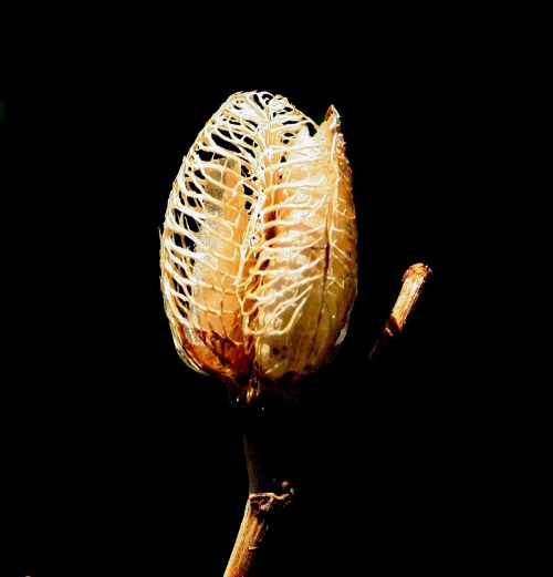 daylily seedpod loculicidal capsule dried fruit
