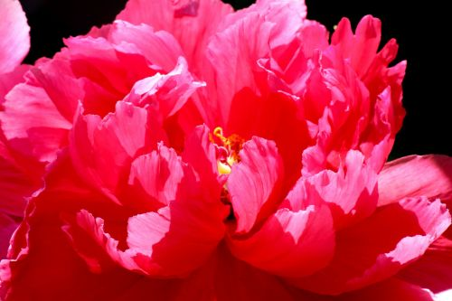 Dazzling Pink Peony