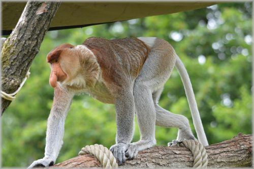 The Proboscis Monkey 1