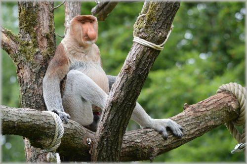 The Proboscis Monkey 3