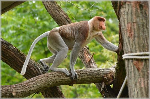 The Proboscis Monkey 5