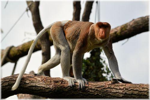 The Proboscis Monkey Set 2.1