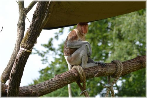 The Proboscis Monkey Set 2.2