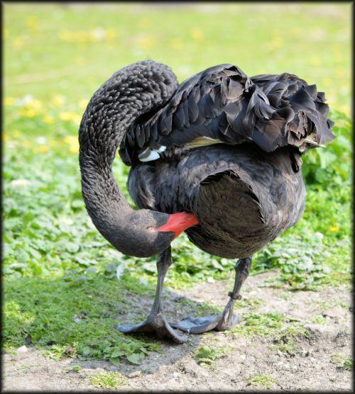 The Brushing Swan 1