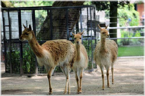 The Llama 02