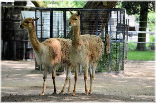 The Llama 03