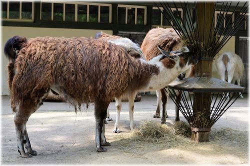 The Llama 04