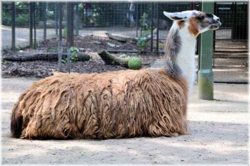 The Llama 05