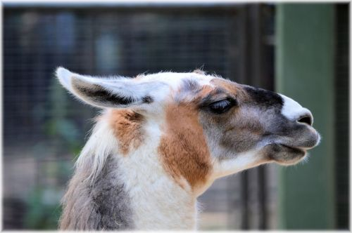 The Llama 07