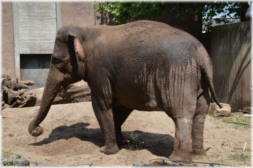 The Sri Lankan Elephant 1