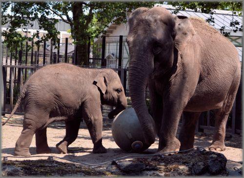 The Sri Lankan Elephant 10