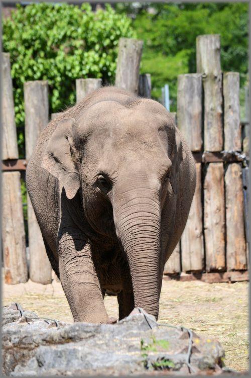 The Sri Lankan Elephant 12