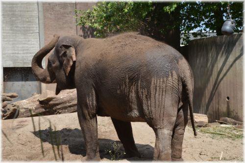 The Sri Lankan Elephant 2