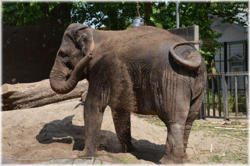 The Sri Lankan Elephant 3