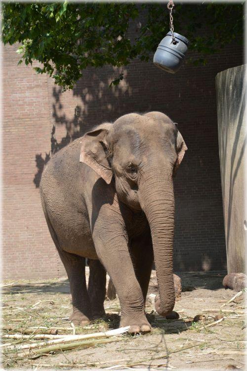 The Sri Lankan Elephant 6