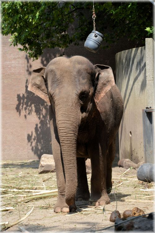 The Sri Lankan Elephant 7