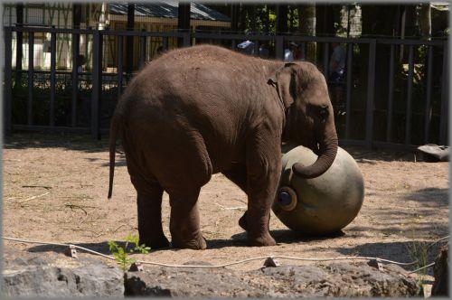 The Sri Lankan Elephant 5