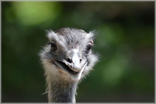 The Ostrich 2
