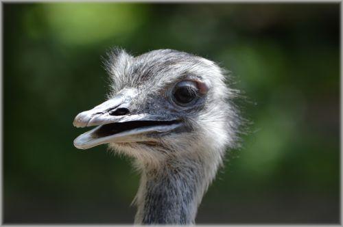 The Ostrich 4
