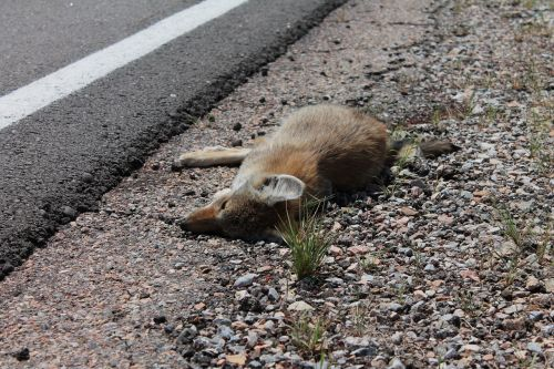 dead fox killed