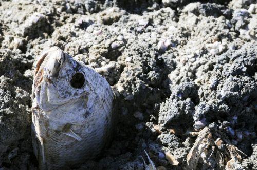 Dead Fish At Salton Sea