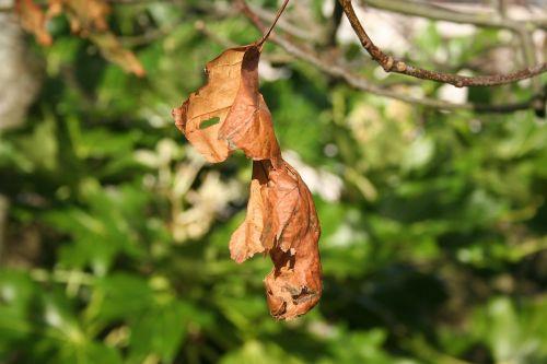dead leaf old leaf