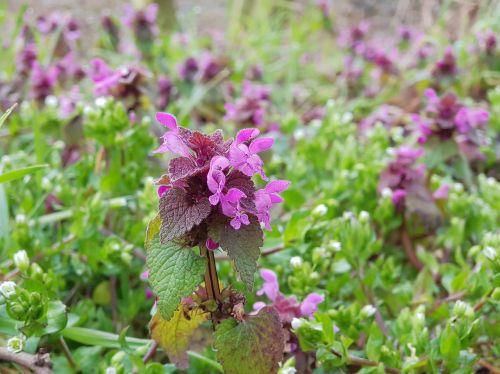 dead nettle purple flower plant