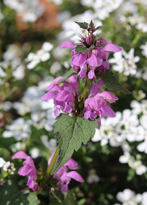 dead-nettle  lamium  flower