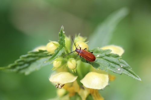 dead nettle ground beetles insect