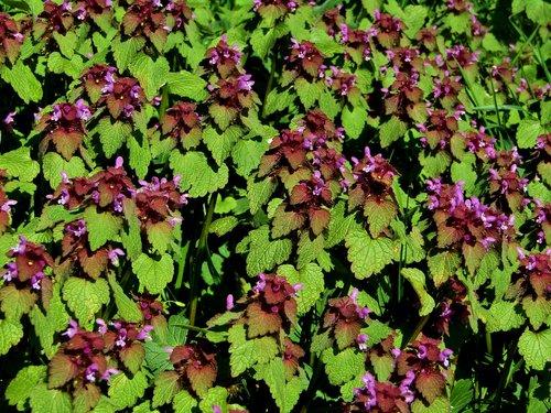dead nettle  purple flower  petals
