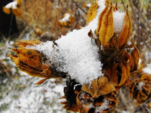 Dead Plant Cover With Snow