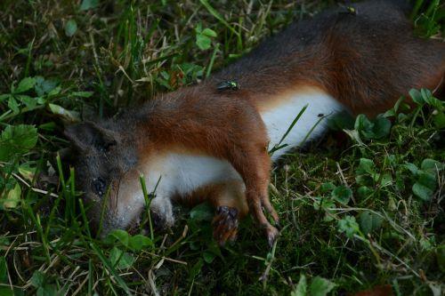 dead squirrel squirrel animal