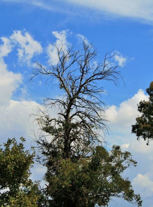 Dead Top Of Tree 2