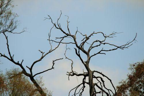 medžiai, sausas, miręs, senas, turėti, miręs medis yra perspektyvus