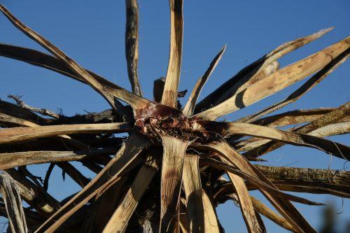 Dead Yucca Tree Top