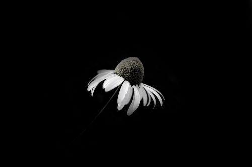 Death Daisy
