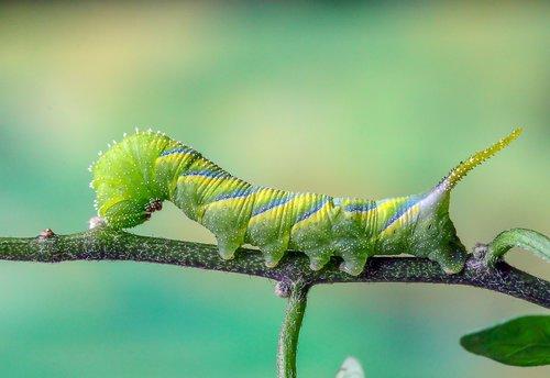 deaths head hawk-moth  caterpillar  green